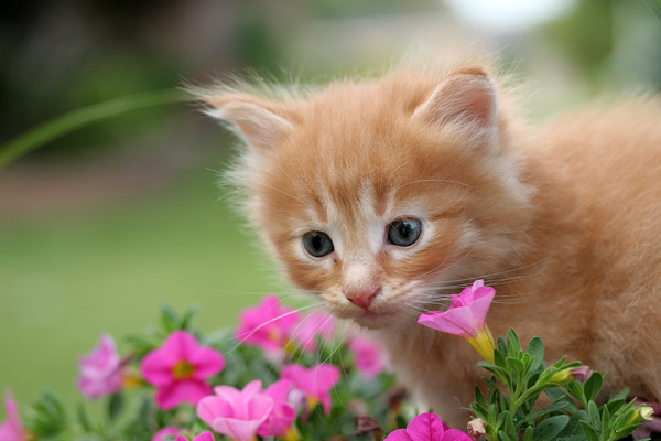 Kitten in the Petunias