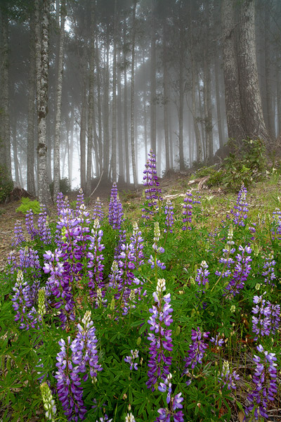 Lupines in the Fog